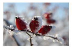 """*The 3 frozen Rosehips*             Serie: WinterWonderLand   Bild 6 / Freihand ohne Makro Objektiv / Canon EOS 450 D /  05.01.2009   Persönliche Vorgabe mal wieder:   das natürliche Licht & Stimmung einzufangen und so wenig, wie möglich """"nachzuarbeiten"""" (Schärfe, Licht, Kontraste).   Hoffe Euch nun etwas milde zu stimmen mit den Dreien vom Strauch... ;o)"""