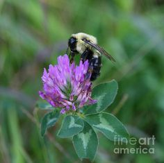Bumble Bee on Red Clover: This photo of a Bumble Bee on Red Clover was taken in Pomfret Connnecticut in 2009.