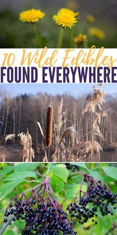 10 Wild Edibles Found Everywhere - When you walk across a field, do you ever wonder if any of it is edible? You may recognize several 'weeds' in there such as dandelion and clover but the rest is just 'wild plants' or other weeds to you.