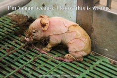 I'm going vegan. This is wrong. Sad and confused unloved little pig just sitting there cause no one is stepping up for them. I will baby don't worry we will save you. Repin if you are against and if your not get off of Pinterest.