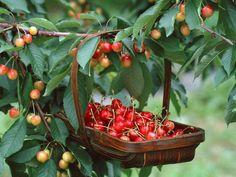 EL REFUGIO: Beneficios de las Cerezas