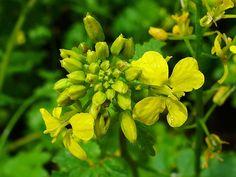 Semintele de MUSTAR ALB se folosesc pentru TRATAMENTUL DIABETULUI,TRATAMENTUL CONSTIPATIEI...O lingurita din aceste seminte luate inainte de fiecare masa... Herbs, Plants