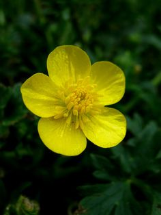 Ranunculaceae: Ranunculus acris  - Tall Buttercup (Common Buttercup) flower by William Tanneberger, via Flickr
