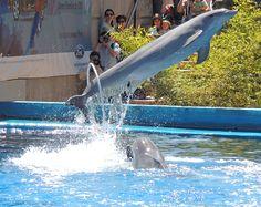 Delfín en pleno salto en el Zoo de Madrid. Delfin Más información en: http://www.eluniversoanimal.com/cetaceos/Cetaceos.html