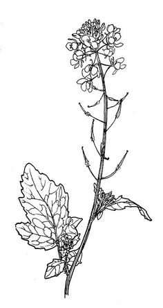 Wild white mustard (Sinapis alba)