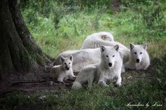 Clan der Wölfe by Dana Kölmel on 500px
