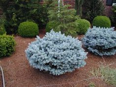 Photo of Montgomerii Blue Spruce Garden Shrubs, Garden Trees, Lawn And Garden, Trees To Plant, Landscaping Plants, Outdoor Landscaping, Front Yard Landscaping, Outdoor Gardens, Evergreen Garden
