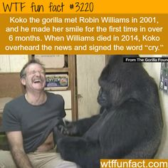 Koko the Gorilla with Robin Williams - WTF fun facts>>>>>>>>>> this hurts my heart