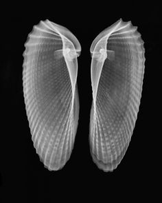 X-raY on Pinterest | X Rays, Tulip and Shells