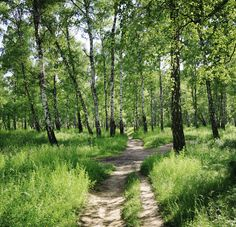 Birch Forest on Sunny day - Fotobehang & Behang - Photowall