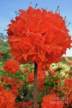 ✯ Orange Azalea