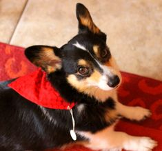 Dog over-the- collar style and tie-on bandanas with black heart stencils on red or white backgrounds by PuppyPawzBoutique on Etsy