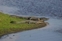 Alligators Myakka River State Park Bradenton Florida