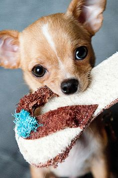 A funny and cute Chihuahua puppy #funny #cute #puppy #dog #Chihuahua  #cuteanimals #TheWorldIsGreat