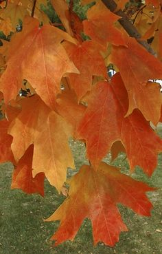 12 Best Maples For Wisconsin And The Midwest Images Maple
