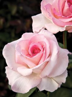 Pink Promise  A disease-resistant hybrid tea with large, fragrant blooms and long stems ideal for cutting, this rose was an AARS winner in 2009. Plant in full sun in moist, well-drained soil. Mature height is 5 feet. USDA Hardiness Zones: 5 to 9