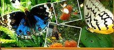Kuala Lumpur Butterfly Park Malaysia - The largest butterfly garden in the world spanning over 80,000 sq ft of landscaped garden with over 5,000 live butterflies, exotic plants, butterfly-host plants & ferns