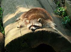 Animals a Racoon laying on a log. Rare Animals, Animals And Pets, Funny Animals, Strange Animals, Animal 2, Mundo Animal, Pet Raccoon, Pet Rats, Fauna