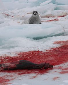 The Video Canada Doesn't Want You to See. http://www.peta.org/blog/video-canada-seal-slaughter/ #peta #SeaShepherd #defendconserveprotect