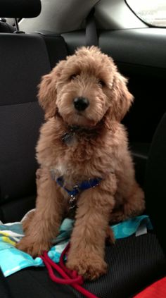 #goldendoodle backseat rider Goldendoodle, Groodle, Retrodoodle, MyOodle, Oodle, Doodle, Dog, Poodle pinned by myoodle.com