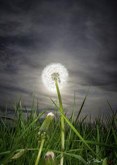 The Bright Dandelion