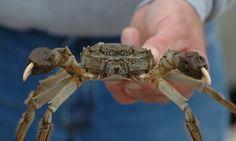 Chinese Mitten Crab - Chesapeake Bay Program