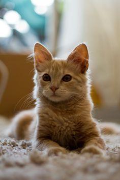 À faire dans ma vie d'adulte autonome financièrement : adopter un chat... blond
