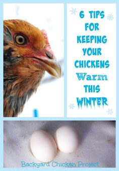 Winter care for chickens can be confusing and overwhelming. We have 6 tips for keeping chickens warm in winter that are easy to put in place!