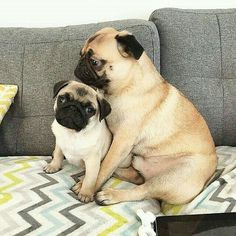 Holidays are great for family times ⌚   www.jointhepugs.com   #PugPower #PugLife #puglove