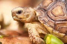 The Trouble With Sulcata Tortoises, America's Ill-Advised Pet Fad