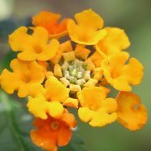 Wandelröschen orange, 12 cm Topf, 3er Set