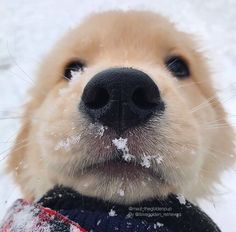 Snow & a Golden Retriever puppy Animals And Pets, Baby Animals, Funny Animals, Cute Animals, Bizarre Animals, Cute Puppies, Cute Dogs, Dogs And Puppies, Doggies