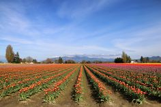 Fields of tulips in
