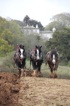 The magnificent heavy horses helping us plough Valentines field ready for our first crop of flax to be sown. #cornwall