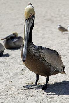 Pelican at Palmilla Beach, Los Cabos, Mexico