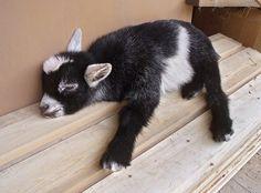 Sleeping Pygmy Goat. So Cute.