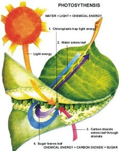 Photosynthesis: would be a great image for a DIY POGIL activity!