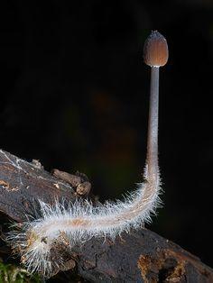 Mycena viscidocruenta - Stephen Axford Photography