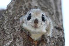 「エゾモモンガ」の画像検索結果 Baby Animals, Funny Animals, Cute Animals, Japanese Flying Squirrel, Baby Squirrel, Cute Little Things, Chipmunks, Four Legged, Animal Kingdom