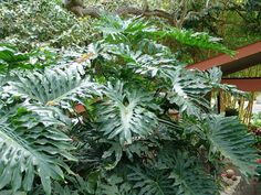 10 Common House Plants That Help Clean Indoor Air - Philodendrons (philodendron oxycardium, philodendron bipinnatifidum, philodendron domesticum) -