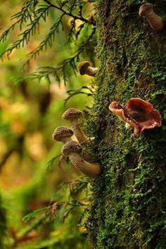 "moon-sylph: ""themagicfarawayttree: ""Mushrooms on a tree by Cheryl "" ☽ ⁎ ˚ * ☀ Mystique, spirituality, nature ✵ ⁎ * ☾ "" Enchanted Wood, Fotografia Macro, Moss Garden, Mushroom Fungi, Mushroom Art, Walk In The Woods, Belle Photo, Natural World, Faeries"