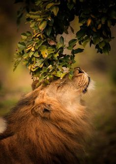 Itchy Nose Lion by Mandy Sierra Photography