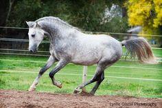 Shagya Arabian stallion Starwalker