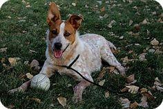 Canon City, CO - Australian Cattle Dog Mix. Meet Od, a dog for adoption. http://www.adoptapet.com/pet/11969446-canon-city-colorado-australian-cattle-dog-mix