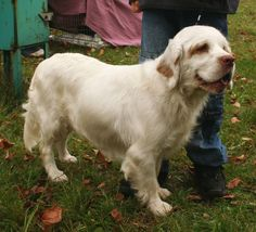 At 85lbs, the Clumber is the heaviest spaniel breed