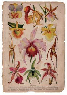 Orchids: x 12 inches. Most decorative chromolithograph depicting 11 different kinds of orchids. Illustration Botanique, Illustration Blume, Botanical Illustration, Garden Illustration, Vintage Botanical Prints, Botanical Drawings, Antique Prints, Antique Art, Vintage Prints