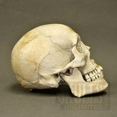 Real Human Skull (Homo sapiens)  