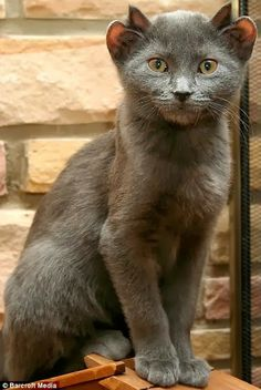Yoda, a unique cat with two set of ears. Click the pic for full story