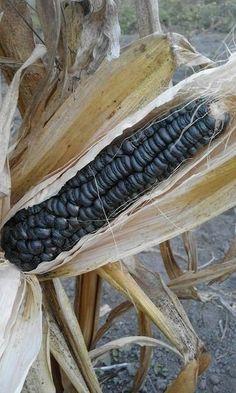 Poze SEMINTE PORUMB NEGRU - BLACK AZTEC