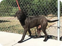 09/07/2016 SUPER URGENT ADOPT KING Labrador Mix, sweet, calm, good with all animals except cats, up for adoption in Everman, Texas.